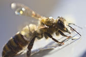 Bee preen — Stock Photo