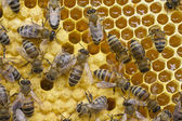 Life and reproduction of bees — Foto Stock