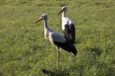 White storks — Stock Photo