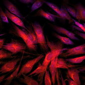 Fibroblasts (skin  cells) labeled with fluorescent dyes — Стоковое фото