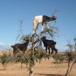 Goats in Argan tree, Morocco — Stock Photo