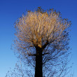 Stock Photo: Autumnal tree with sunlit top