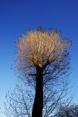Autumnal tree with sunlit top — Foto Stock