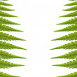 Stock Photo: Fern leaves background, isolated on white