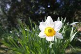 Single daffodil in a field — Stock Photo