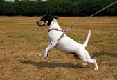Small dog pulling on a lead — Stockfoto