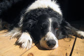 Dog lying on a wooden floor — Stock Photo