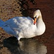 White swan preening — Stock Photo #30967555