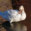 Stock Photo: White swan preening
