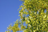 Leaves and blue summer sky — Foto Stock