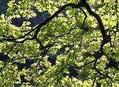 Bakgrundsbelyst blad och grenar — Stockfoto