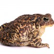 American Toad (Bufo americanus) — Stock Photo