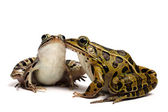 Green frog (Rana clamitans) — Stock Photo