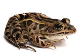 Pickerel Frog (Lithobates palustris) — Stock Photo