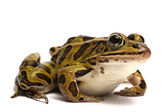 Northern Leopard Frog (Lithobates pipiens) — Stock Photo