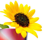 Sunflower in vase — Stock Photo