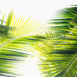 Royalty-Free Stock Photo: Palm leaves