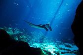 Manta ray in the deep blue ocean — Stock Photo