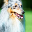 Beautiful Shetland Sheepdog - Stockfoto