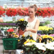 Attractive woman choosing a colourful flowering plant from a selection in a gardening centre - Stock Photo