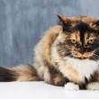 The picture of feline perfection - Stock Photo