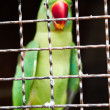 Caged parrot - Stock Photo