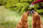 Two dogs drink water — Stock Photo