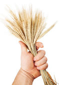 Hand hold wheat — Stock Photo