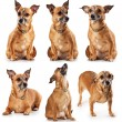 toy terrier — Stock Photo