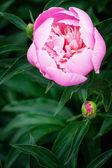 牡丹花 — 图库照片