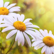 Chamomile — Stock Photo #26742853