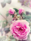 Rose pink — Stock Photo