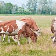 Cows pasture — Stock Photo #38836837