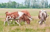 Cows pasture — Foto de Stock
