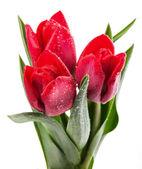 新鲜的红色郁金香 — 图库照片
