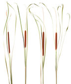 plant reeds — Stock Photo