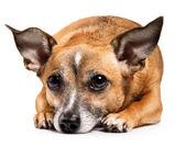 Toy terrier  — Stockfoto