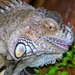 Grenn iguana — Stock Photo #21591933