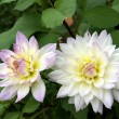 Stock Photo: White dahlia