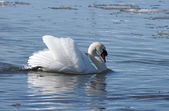 Swan and water — Stock Photo
