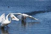 Swan in movement — Stock Photo