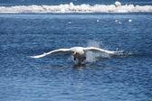 Swan in flight — Stock Photo