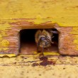 Bee in beehive — Stock Photo