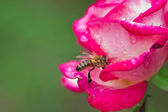 Bee on rose — Stock Photo