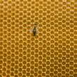 Honeycomb with bee — ストック写真