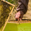 Beekeeper working on honeycomb with bees — Stock Photo #26095255