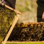 včelař pracuje na honeycomb s včely — Stock fotografie