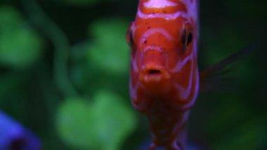 円盤投げの魚の水槽で — ストックビデオ