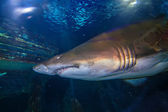 Tiger san shark — Stock Photo