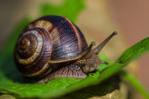 Snail walking on the leaf — Stock Photo
